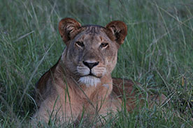 Lion in Murchison falls