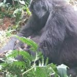 New Gorilla born in bwindi