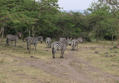 Zebras-Lake-Mburo