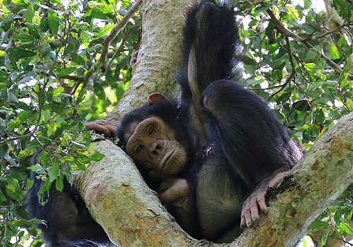 Chimpanzee-tracking-Kibale